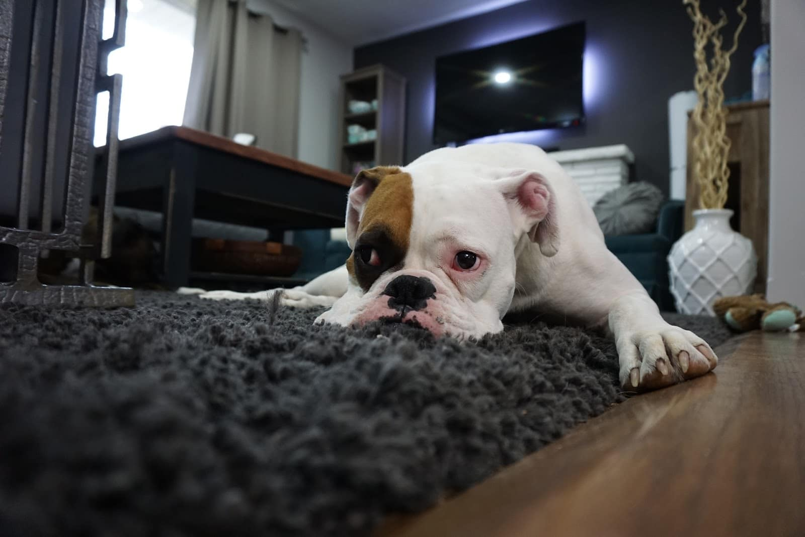 picture of bull dog on carpet showing how to remove pet hair from carpet